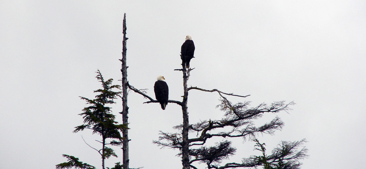 www.letsbewild.com - kayaking Alaska's inside passage - bald eagles - Denis Dwyer