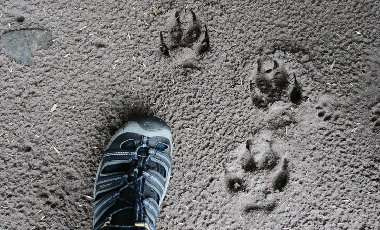 www.letsbewild.com - wolf tracks  - kayaking Alaska's inside passage - Denis Dwyer