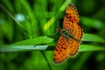 Photo of the Day - www.letsbewild.com - Arctic Fritillary Butterfly - Terry Lawson