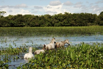 Adventure Travel Photo of the Day - www.letsbewild.com - Horses in the Pantanal, Brazil - Dafna Ben-nun