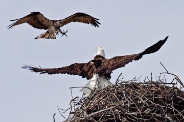 Adventure Travel Photo of the Day - www.letsbewild.com - Bald Eagle vs. Osprey - Lorraine Hudgins
