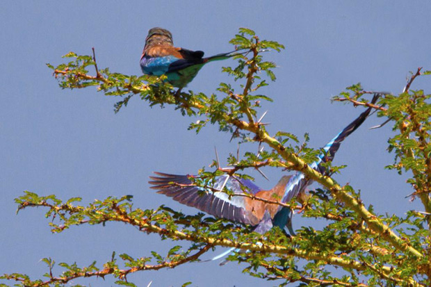 Adventure Travel Photography - www.letsbewild.com - The Luck of a Nature Photographer: photographing the lilac breasted roller in Africa - by Jeffrey Wu