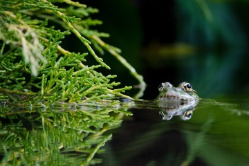 Adventure Travel Photo of the Day - www.letsbewild.com - Frog in the Mirror, Lake Annecy, Haute-Savoie, France - Maxime Gilbert