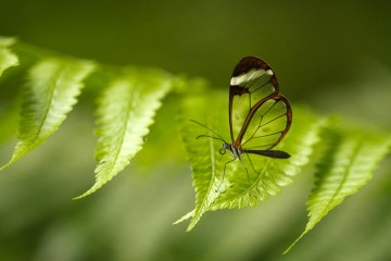 Adventure Travel Photo of the Day - www.letsbewild.com - Glasswing Butterfly, Arenal Volcano National Park, Costa Rica - Benjamin Nocke