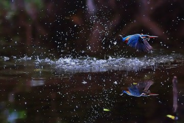 Adventure Travel Photo of the Day - www.letsbewild.com - Common Kingfisher in India - Photograph by Raj Dhage
