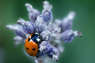 Adventure Travel Photo of the Day - www.letsbewild.com - Mademoiselle Coccinelle: Ladybug After the Rain, Annecy, Haute-Savoie, France - Maxime Gilbert