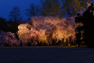 Adventure Travel Photo of the Day - www.letsbewild.com - Cherry Blossoms in Japan- Jim Caldwell