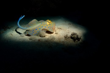 Adventure Travel Photo of the Day - www.letsbewild.com - Blue Spotted Stingray, Red Sea, Egypt - Matthew Oxley