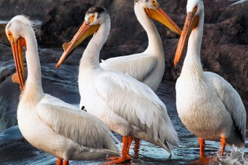 Adventure Travel Photo of the Day - www.letsbewild.com - North American White Pelican Quartet, Rapids of the Drowned, Northwest Territories, Canada - Karl Johnston