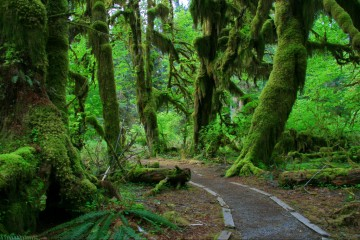 Adventure Travel Photo of the Day - www.letsbewild.com - Hall of Mosses, Hoh Rainforest, Olympic National Park, Washington, United States - Jennifer Bulava