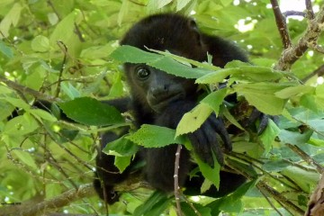 Lisa - Howler Monkey
