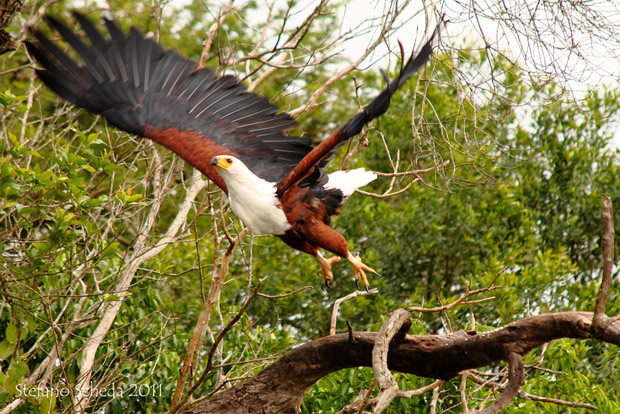 African Fish Eagle - Stefano Scheda