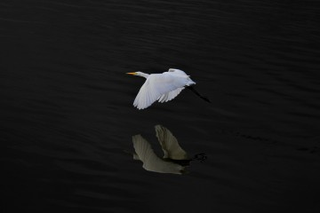 Adventure Travel Photo of the Day: Egret in Flight