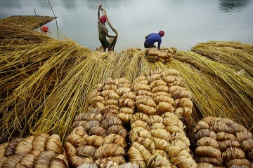 Jute Production: Krishnanagar, India