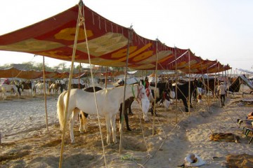 Tilwara Horse and Camel Fair