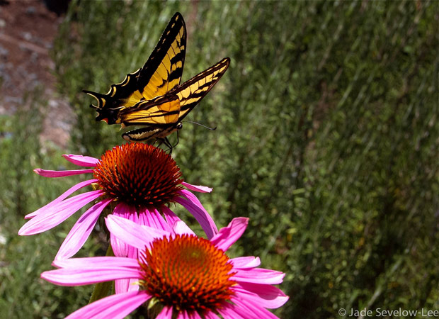 Wild Weekly Photo Challenge - Butterfly on Flower