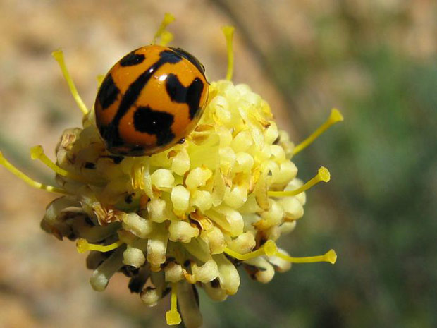 Wild Weekly Photo Challenge - Ladybug on Flower