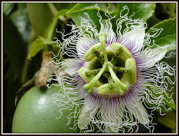 Wild Weekly Photo Challenge - Passion Flower