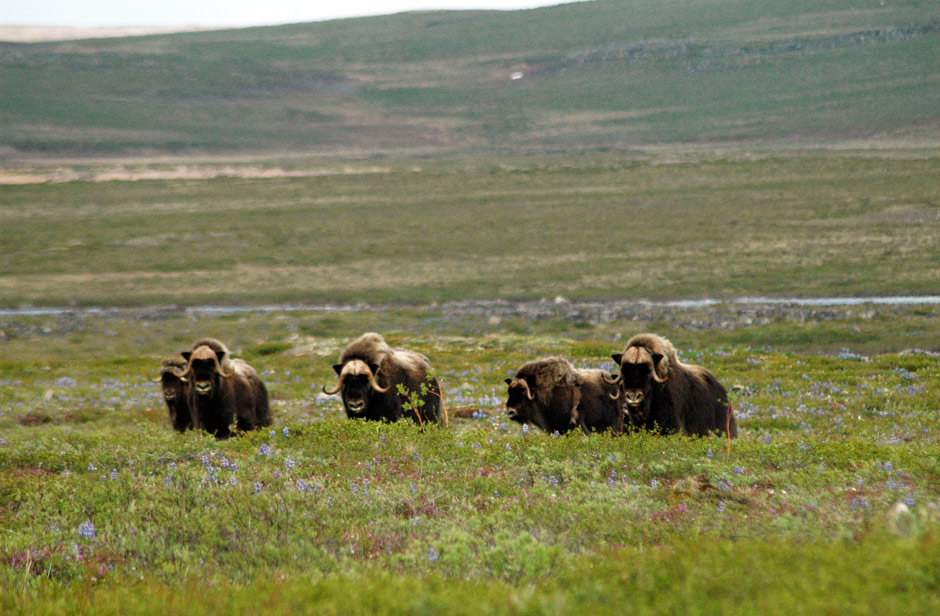 Canoeing Canada's Barren Lands - Muskox on the Tundra