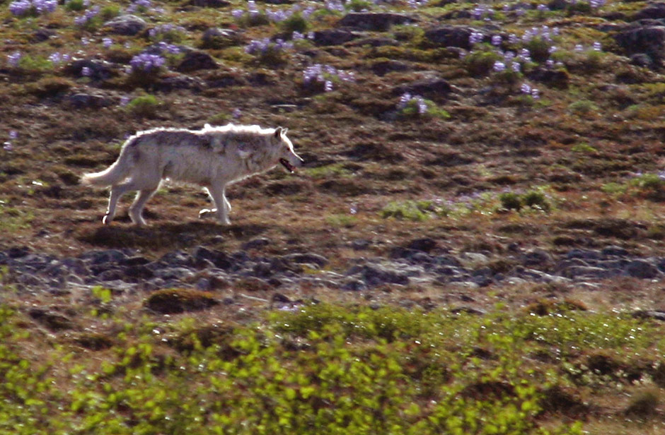 Canoeing Canada's Barren Lands - Wolf on the Tundra