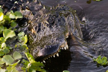 Photo of the Day: Paynes Prairie Alligator