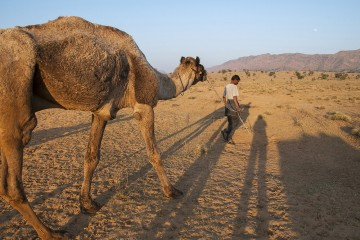 Camel in Rajasthan, India